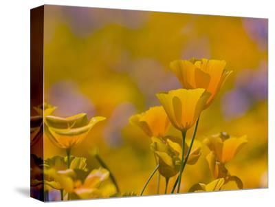 Mexican Poppy Flowers (Eschscholzia Mexicana), Sonoran Desert, Arizona, USA
