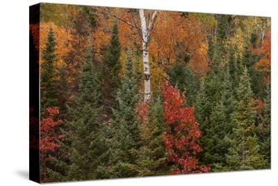 Michigan, Upper Peninsula. Evergreens and Red Maple Trees in Autumn