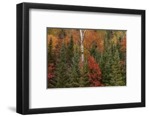 Michigan, Upper Peninsula. Evergreens and Red Maple Trees in Autumn by Don Grall