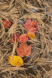 Michigan, Upper Peninsula. Leaves Float in Pool of White Pine Needles by Don Grall