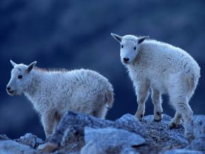 Mountain Goats on Mt. Evans, CO by Don Grall