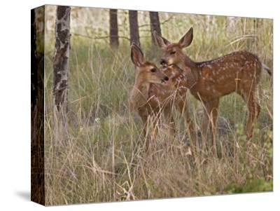 Mule Deer Fawns (Odocoileus Hemionus) in a Mountain Meadow, Pike National Forest, Colorado, USA