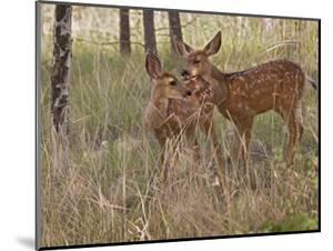 Mule Deer Fawns (Odocoileus Hemionus) in a Mountain Meadow, Pike National Forest, Colorado, USA by Don Grall