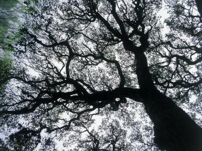 Old Oak Tree Limbs Against the Sky, TX