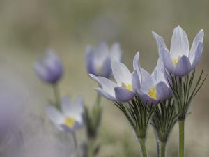 Pasque Flowers, Pulsatilla Patens, Aka Wild Crocus by Don Grall