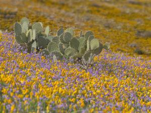 Prickly Pear Cactus (Opuntia) Surrounded by Mexican Poppy (Eschscholzia Mexicana) by Don Grall