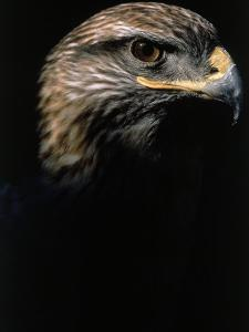 Profile of Hawk by Don Grall