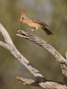 Pyrrhuloxia (Cardinalis Sinuatus) Female Landing on a Dead Cactus Branch, Sonoran Desert, Arizona by Don Grall
