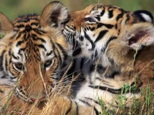 Two Bengal Tiger Cubs Bonding by Don Grall