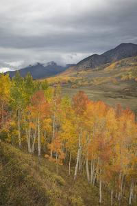 USA, Colorado, Gunnison NF. Aspen Grove at Peak Autumn Color by Don Grall