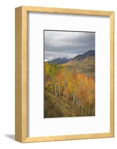 USA, Colorado, Gunnison NF. Aspen Grove at Peak Autumn Color by Don Grall