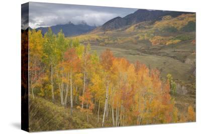 USA, Colorado, Gunnison NF. Aspen Grove at Peak Autumn Color