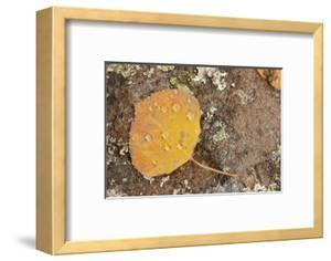 USA, Colorado, Gunnison NF. Aspen Leaf and Lichen on Rock by Don Grall