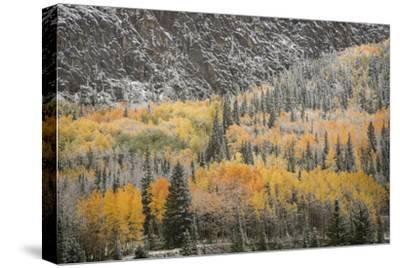USA, Colorado, San Juan Mountains. Autumn Snowfall on Forest