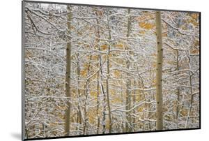 USA, Colorado, San Juan Mountains. Snow on Aspen Trees by Don Grall