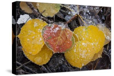 USA, Colorado, Uncompahgre NF. Frozen Water on Aspen Leaves