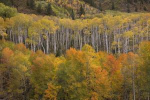 USA, Colorado, White River NF. Aspen Grove at Peak Autumn Color by Don Grall