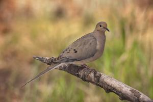 USA, Colorado, Woodland Park. Mourning dove on branch by Don Grall