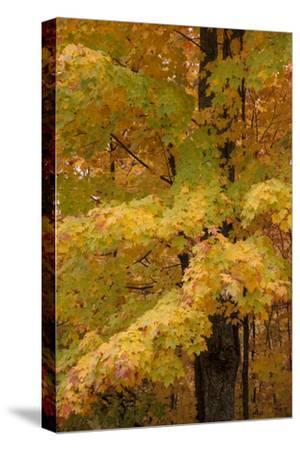 USA, Michigan, Upper Peninsula. Red Maple Trees in Autumn Color