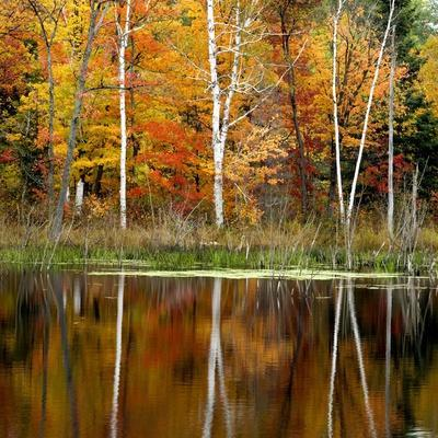 Autumn Colour Reflected in a Beaver Pond, Point Au Baril, Ontario, Canada.