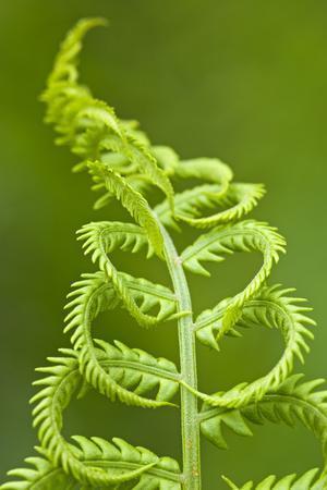 Cinnamon Fern's Fertile Spore-Bearing Fronds are Erect and Shorter