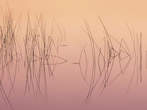 Hardsten Bulrush (scirpus Acutus) Manitoulin Island, Lake Mindemoya, Ontario, Canada by Don Johnston