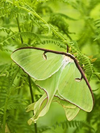 Luna Moth (Actias Luna) Mating Pair Among Hay-scented Ferns, Lively, Ontario, Canada.