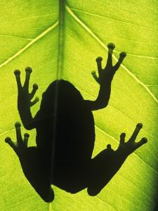 Silhouette of an Eastern Tree Frog (hyla Versicolor) Clinging to a Leaf, Walden, Ontario, Canada by Don Johnston