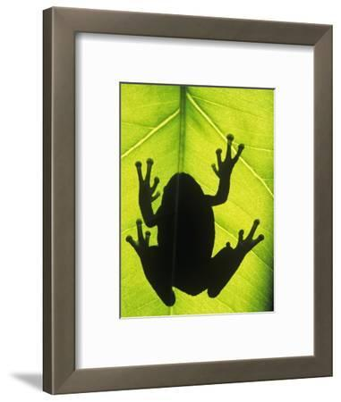 Silhouette of an Eastern Tree Frog (hyla Versicolor) Clinging to a Leaf, Walden, Ontario, Canada