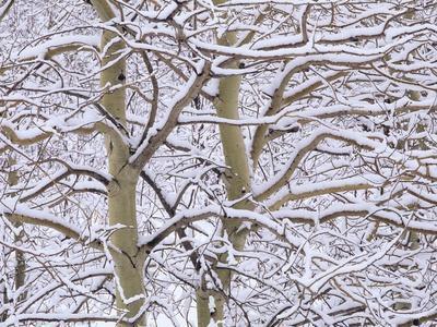 Trembling Aspens (populus Tremuloides) in Winter, Sudbury Ontario, Canada