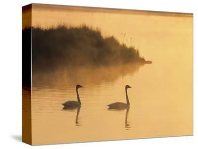 Two Adult Trumpeter Swans (cvanus Buccinator) in Morning Light at the Mouth of Junction Creek, Wald