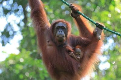 Bornean Orangutan mother and baby, Borneo, Malaysia, Southeast Asia, Asia by Don Mammoser