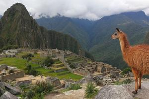 Llama standing at Machu Picchu viewpoint, UNESCO World Heritage Site, Peru, South America by Don Mammoser