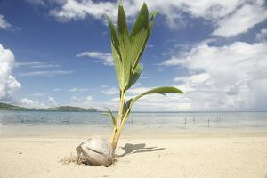Young coconut palm tree establishing itself on an island, Fiji, Pacific by Don Mammoser