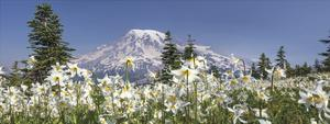 Avalanche Lilies Mount Ranier by Don Paulson