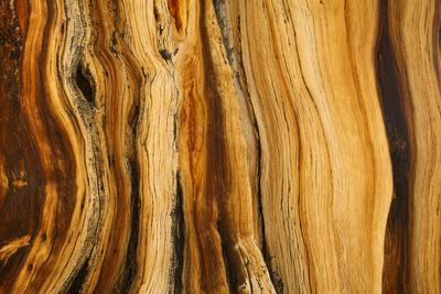 California, White Mountains. Patterns in Bristlecone Pine Wood