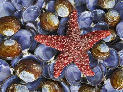 Close-Up of Starfish and Clam Shells, Hood Canal, Seabeck, Washington, USA by Don Paulson