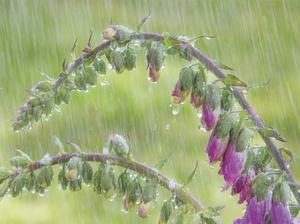 Foxglove in Rain by Don Paulson