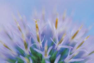 Globe Thistle Abstract by Don Paulson