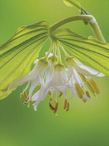 Hookers Fairy Bells by Don Paulson