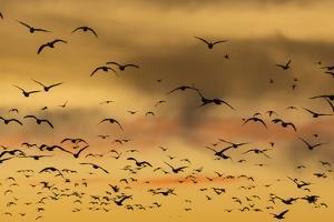 New Mexico, Bosque del Apache NWR. Snow Geese Flying at Sunset by Don Paulson