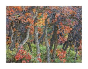 Oak Trees II by Don Paulson