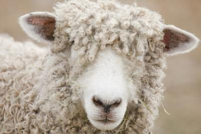 Canada, British Columbia, Fort Steele, Close-Up of a Sheep