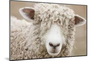 Canada, British Columbia, Fort Steele, Close-Up of a Sheep by Don Paulson Photography