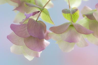 Ornamental Oregano (Kent Beauty), Close-Up by Don Paulson Photography