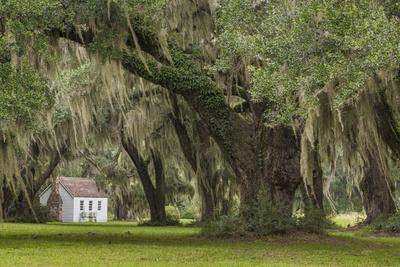 South Carolina, Ace Basin NWR. Spanish Moss on Oak Trees