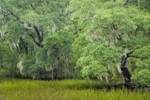 South Carolina, Charleston, Edisto Beach SP. Oak Trees Next to Swamp by Don Paulson