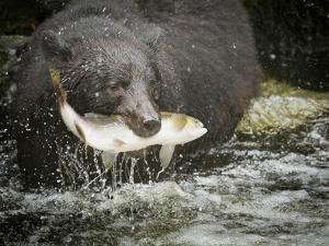 USA, Alaska, Anan Creek. Close-up of black bear catching salmon. by Don Paulson