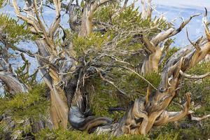 USA, California, Inyo NF. Bristlecone pine tree. by Don Paulson