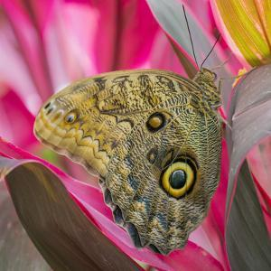 USA, Washington State, Seattle. Close-up of Owl Butterfly by Don Paulson